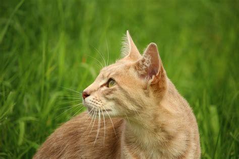 tan cat  green grass  daytime  stock photo