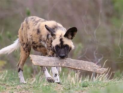 Wild African Dog Zoo Denver Animals