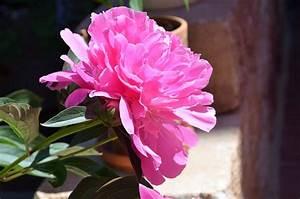 Pfingstrose Sarah Bernhardt : pfingstrose paeonia lactiflora 39 sarah bernhardt 39 online kaufen ~ A.2002-acura-tl-radio.info Haus und Dekorationen