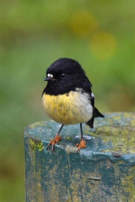 cute little black and yellow bird birds of a feather