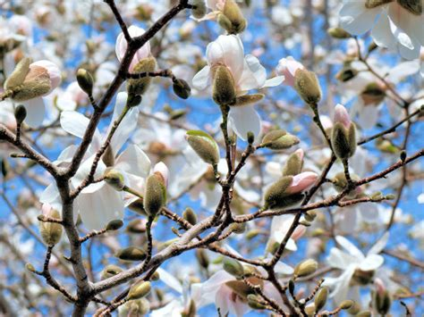 facts about magnolia trees facts about the magnolia tree garden guides