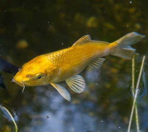 koi swimming upside  sideways pond informer