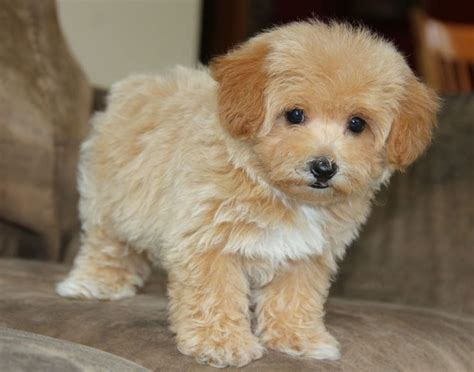 does maltipoo shed hair 1000 images about maltipoo on maltese poodle