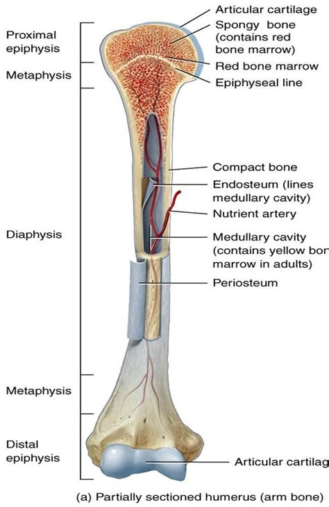 Label the long bone by deanne1480 123,161 plays 10p image quiz bones in human foot by gurulou 116,584 plays 11p image quiz brain labeling (nervous system) ec by tcullen 104. Chapter 6: Bone Tissue - Kinesiology 2500 with Hargroder at Louisiana State University - StudyBlue