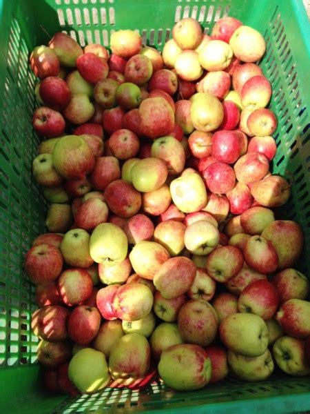 serunya wisata agro petik apel malang berbagi kisahku