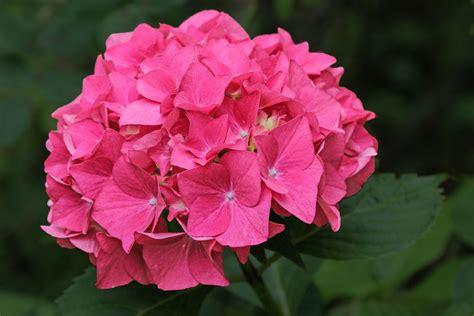 significato fiore ortensia ortensia fiore di un nascente