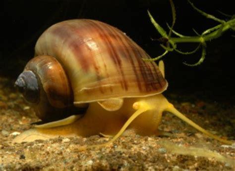 escargot d eau douce aquarium escargot les escargots d eau douce mangeurs d algues