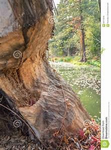 Achat Tronc Arbre Decoratif : tronc d 39 arbre rong par des castors photo stock image ~ Zukunftsfamilie.com Idées de Décoration