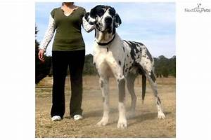 Puppies for sale from infinity kennel great danes member for Great dane dog kennels for sale