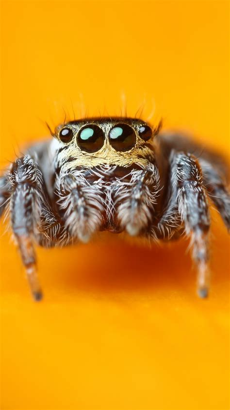 wallpaper jumping spider   wallpaper macro black
