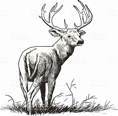 Deer Buck Tail Whitetail Vector Tailed Male
