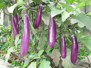 Eggplant Tree | Filipino Food Pictures | Pinterest | Trees ...