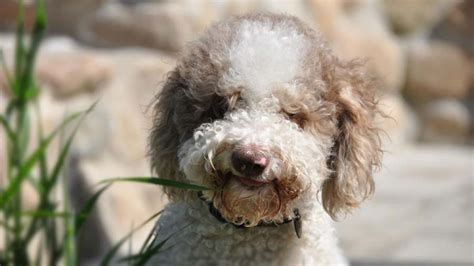 lagotto romagnolo information characteristics facts names