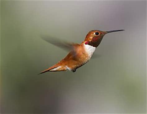bird migration birds   pacific flyway