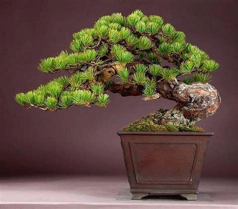 Bonsai Baum Pflanzen by Bonsai Bonsai Bonsai Baum Bonsai Und Garten Pflanzen