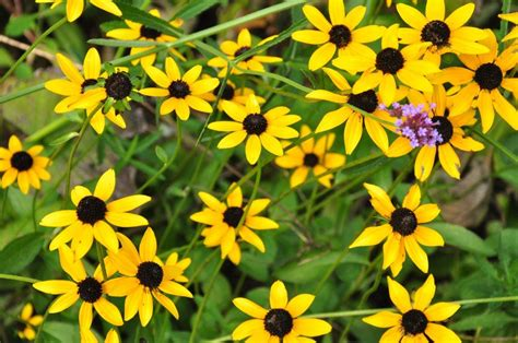 Tips For Growing Black Eyed Susans