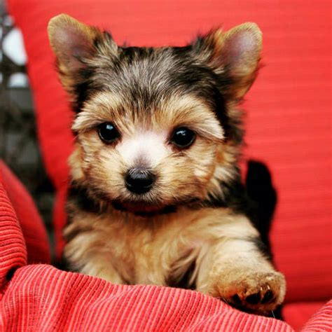 do morkie puppies shed morkie puppy pictures big in small packages
