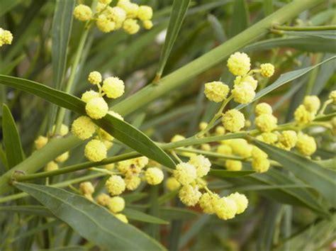 acacia retinodes mimosa des 4 saisons p 233 pini 232 re en ligne de kerzarc h