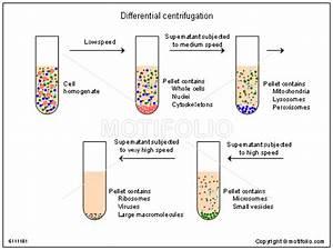 Differential Centrifugation Illustrations