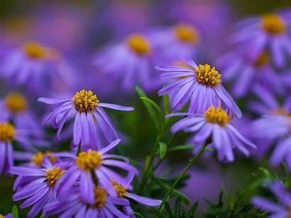 Purple Yellow Flowers Desktop Daisies Wallpapers13 1200