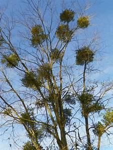 Does Mistletoe Harm Trees?   North Carolina Cooperative ...