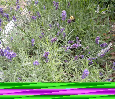 varieties of lavender lavandula information on the lavender genus