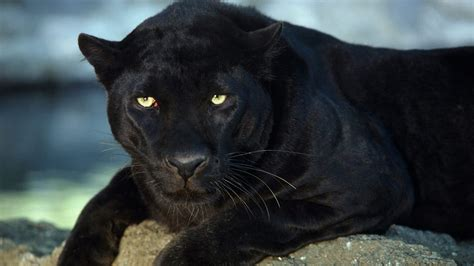 black leopard hd wallpapers