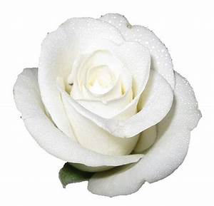 White roses, Roses and Backgrounds on Pinterest