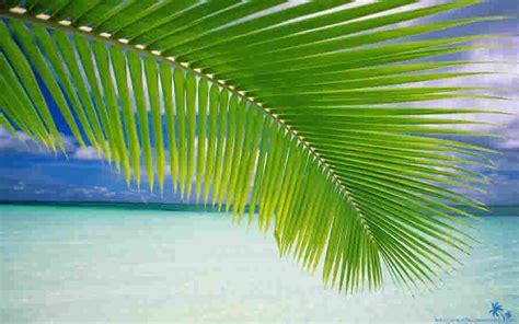 lidi  pohon kelapa alumni smpn  prambanan
