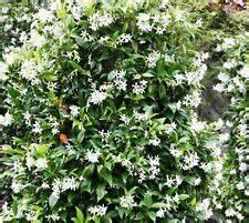 Jasmin Pflanze Winterhart : winterharte kletterpflanzen ebay ~ Frokenaadalensverden.com Haus und Dekorationen