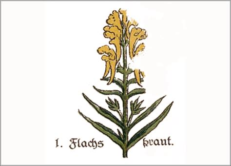 heilpflanze leinkraut linaria vulgaris hilft bei blasenleiden