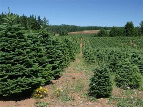 cut your own christmas tree this year toms river nj patch