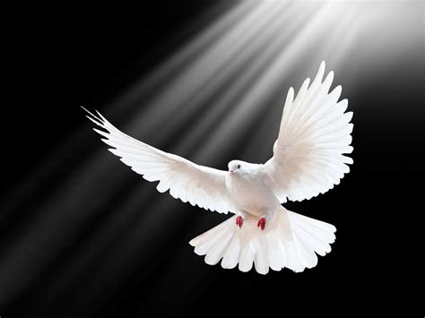 white pigeon flight spread wings rays black wallpaper