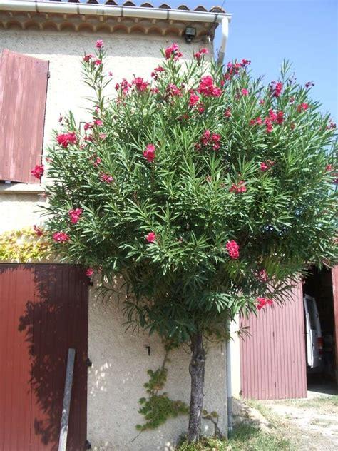 forums de jardinage afficher le sujet lauriers roses taille help help