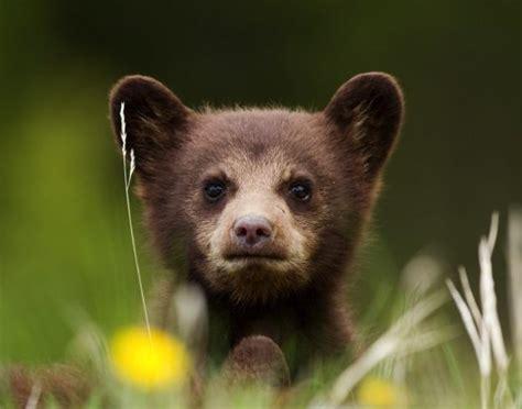 10 Amazing Black Bear Facts