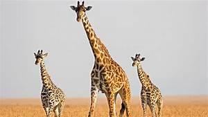 Giraffe genome reveals clues to sky-scraping height ...  Giraffe