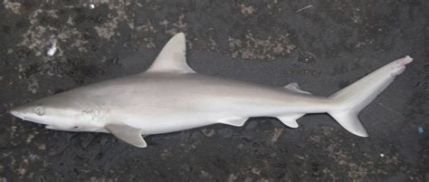 Black Nose Shark