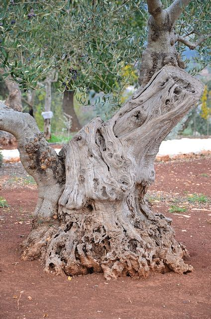100 Year Old Olive Tree