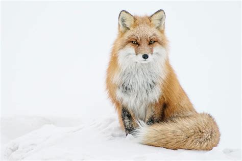 russian mining engineer photographs arctic foxes