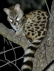 The Cape genet (Genetta tigrina), also known as the ...