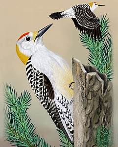 Pecan Identification Chart Golden Fronted Woodpecker Whatbird Com