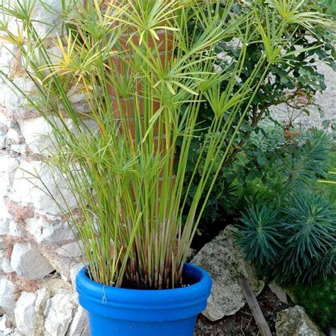 plante repulsif chat exterieur papyrus planter et bouturer ooreka