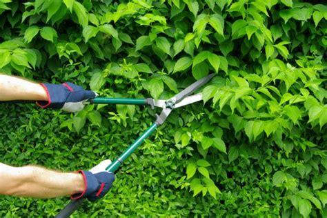 rispenhortensie pflanzen pflegen schneiden und mehr