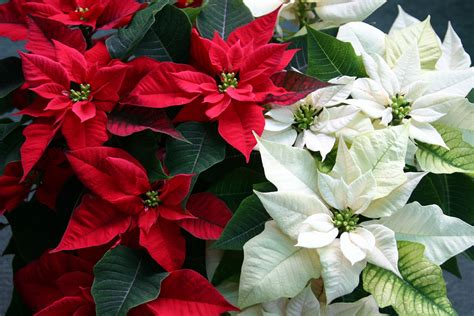caring  holiday poinsettia plants