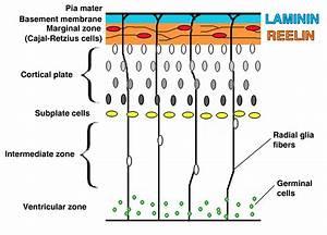 Development Of The Cerebral Cortex