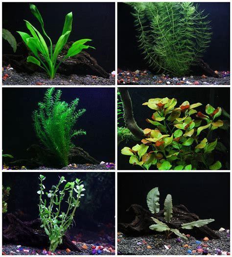 of your aquarium aquarium plants 25 stems 6 species live aquarium plants package anacharis and more aquarium