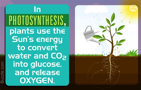 Importance Of Photosynthesis And Why Is It Vital For