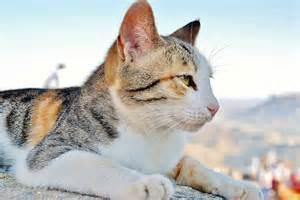 calico cat facts tri color calico cat interesting facts and