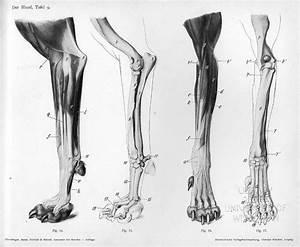 Image Result For Cat Leg Anatomy