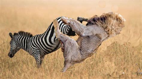 zebra  lion  lion    crap kicked